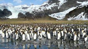 King penguins stock image
