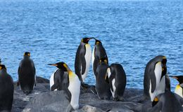King Penguins - Antarctica sitting on rocks. The blue ocean and a king penguin colony some sleeping - South Georgia Island Royalty Free Stock Photography