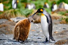 Free King Penguins - Aptendytes Patagonica - Mother And Cute Fluffy Chick Begging For Food, Gold Harbour, South Georgia Royalty Free Stock Images - 169289919