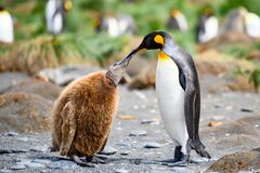 King penguins - Aptendytes patagonica - mother and cute fluffy penguin chick begging for food  Gold Harbour  South Georgia