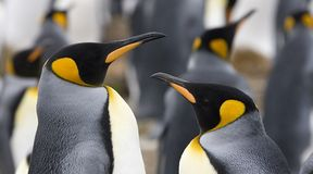 King penguins (Aptenodytes patagonicus) Stock Photo