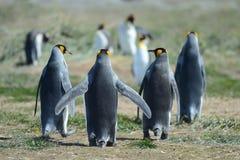 King penguins on the Bay of Inutil. BAY INUTIL, CHILE - NOVEMBER 12,2014:King penguins on the Bay of Inutil stock photo