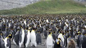 King Penguins colony on the beach stock footage