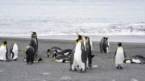 King Penguins colony on the beach stock video footage