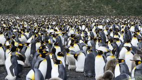 King Penguins colony on the beach stock video