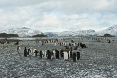 King penguins at the beach of South Geogia Stock Photo