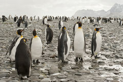 King penguins at the beach of South Geogia Royalty Free Stock Photography