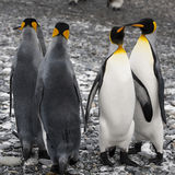 King penguins at the beach of South Geogia Royalty Free Stock Images