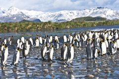 King penguins in beautiful landscape of South Georgia Stock Photos