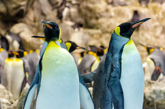 King Penguins Royalty Free Stock Images