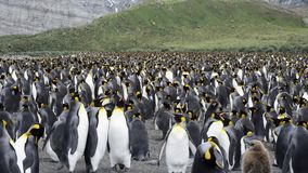 King Penguins with chick stock footage
