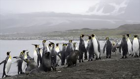 King Penguins with chick stock video footage