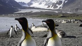 King Penguins colony stock video