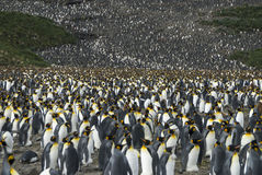 King penguins colony at South Georgia Royalty Free Stock Image