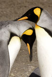 King Penguins Courting. Vertical format of two king penguins in ritual courship embrace Salisbury Plain South Georgia Island