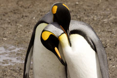 King Penguins Courting. Horizontal format of two king penguins in ritual courtship embrace Salisbury Plain South Georgia Island Royalty Free Stock Photo