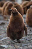 King Penguins. Cute and fluffy king penguin chick in its natural environment of South Georgia - Antarctica Royalty Free Stock Images