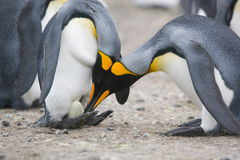 King penguins with egg Royalty Free Stock Image