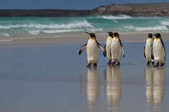 King Penguins - Falkland Islands Royalty Free Stock Photography
