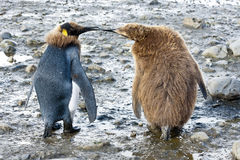 King penguins -  funny chicks. King penguins in South Georgia. The left one is in moult. Can you hear them speaking together Stock Photo