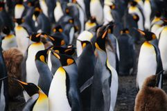 King Penguins on Gold Harbour. Gold harbour, South Georgia is home to a large population of King Penguins Stock Photos