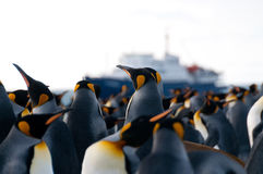 King Penguins on Gold Harbour Royalty Free Stock Image