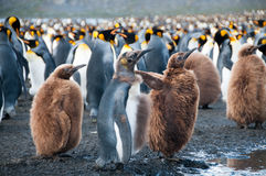 King Penguins on Gold Harbour Royalty Free Stock Photos