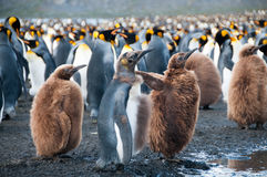 King Penguins on Gold Harbour. Gold harbour, South Georgia is home to a large population of King Penguins Stock Image