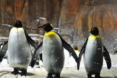 King penguins. Penguins are a group of aquatic,flightless birds living almost exclusively in the southern hemisphere Royalty Free Stock Photography