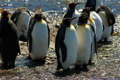 King Penguins in Grytviken Royalty Free Stock Image