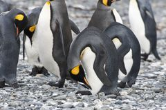 King penguins head bowed, Antarctica Royalty Free Stock Images