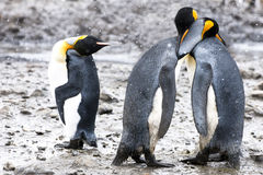 King penguins with human gesticulation Royalty Free Stock Image