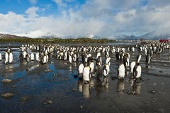 King penguins with human visitors Royalty Free Stock Images