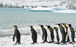 King Penguins in an Icy Bay Stock Images