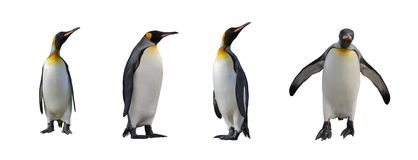 King penguins isolated. Set of four king penguins isolated on white background Stock Photos