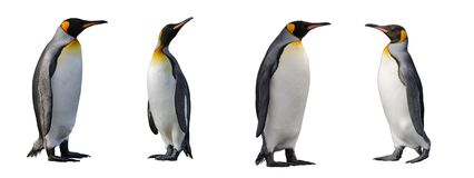 King penguins isolated stock image