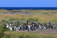 King penguins living wild at Parque Pinguino Rey, Patagonia, Chile. King penguins living wild at Parque Pinguino Rey, Tierra Del Fuego, Patagonia, Chile Royalty Free Stock Images