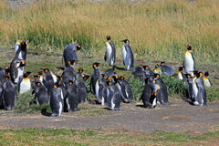 King penguins living wild at Parque Pinguino Rey, Patagonia, Chile. King penguins living wild at Parque Pinguino Rey, Tierra Del Fuego, Patagonia, Chile Royalty Free Stock Photography