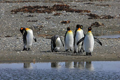 King penguins living wild at Parque Pinguino Rey, Patagonia, Chile. King penguins living wild at Parque Pinguino Rey, Tierra Del Fuego, Patagonia, Chile Stock Photos