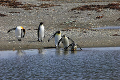 King penguins living wild at Parque Pinguino Rey, Patagonia, Chile. King penguins living wild at Parque Pinguino Rey, Tierra Del Fuego, Patagonia, Chile Stock Photos