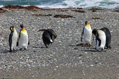 King penguins living wild at Parque Pinguino Rey, Patagonia, Chile Stock Image
