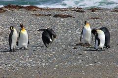 King penguins living wild at Parque Pinguino Rey, Patagonia, Chile. King penguins living wild at Parque Pinguino Rey, Tierra Del Fuego, Patagonia, Chile Stock Image