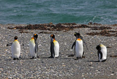 King penguins living wild at Parque Pinguino Rey, Patagonia, Chile Royalty Free Stock Photos