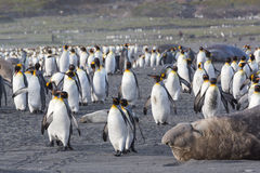 King penguins maneuver past sleeping elephant seal. To reach safety from a leopard seal Royalty Free Stock Images