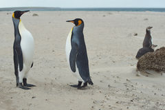 King Penguins Meet on a Sandy Beach Stock Images