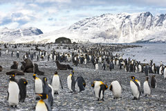 King penguins, mountains, ocean Royalty Free Stock Image