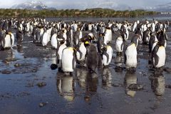 King penguins, mountains and ocean in South Geogia Stock Images