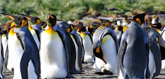 Free King Penguins, One With An Egg Royalty Free Stock Images - 169317279