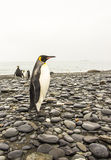 King Penguins Stock Images