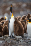 King Penguins. A King Penguin chick begging for food from one of its parents, both with heads held skyward - South Georgia Royalty Free Stock Images
